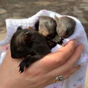 Drei Eichhörnchen-Babys sind zwischen Greifenberg und Eching von einem jungen Mann und der Polizei gerettet worden.