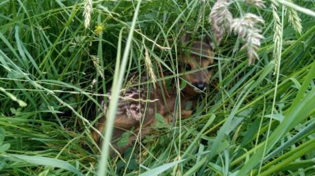 Ein Rehkitz, das sich in einer Wiese versteckt und bei einem Einsatz vor dem Mähtod bewahrt werden konnte. In Langenneufnach wurde ein gerettetes Rehkitz unlängst von einem Hund gerissen.