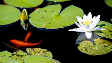 Fünfzig Goldfische waren in einem Teich in Röfingen zu Hause.