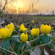 Winterlinge strahlen auf dem Lechfeld mit der Sonne bei deren Untergang um die Wette