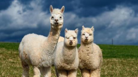 Alpakas kamen in Horgauergreut nicht abhanden..