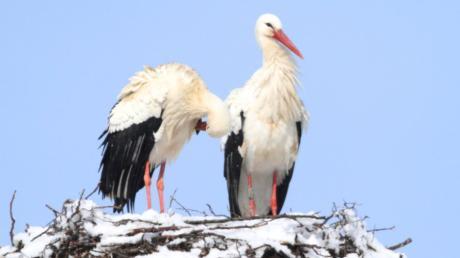 Der Dasinger Storch hat ein neues Weibchen gefunden.