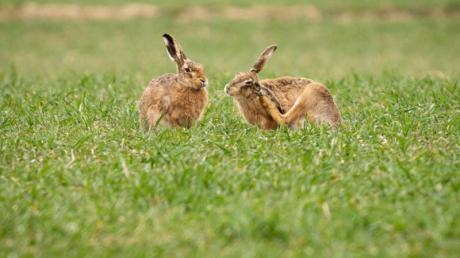 Zwei tote Hasen wurden bei Altheim/Alb gefunden.