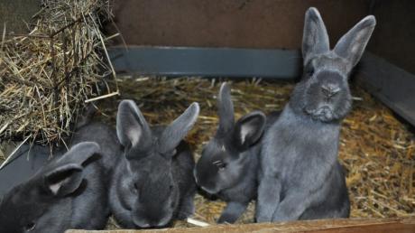 Sobald sie die Stimme ihres Herrchens hören, spitzen die Hasen von Züchter Anton Fischer aus Babenhausen ihre langen Ohren.