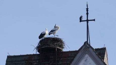 Ein Storchenpaar nistet auf der Pfarrkirche in Gablingen. Durch eine Drohne fühlten sie sich bedroht.