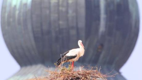 In Inchenhofen versucht ein Storchenpaar, ein Nest auf einem Baum zu bauen. Für Gerhard Mayer vom Landesbund für Vogelschutz posierte ein Storch vor der Wallfahrtskirche St. Leonhard.