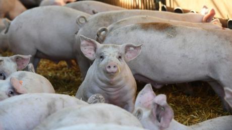 Bei der Haltung von Schweinen wird inzwischen immer mehr auf das Wohl der Tiere Wert gelegt. Ein Jedesheimer Landwirt baut deshalb eine Schweinearena.