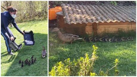 Eine Entenfamilie hat sich in Wullenstetten in einen Garten verirrt: Das zog einen Polizeieinsatz nach sich.