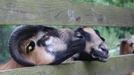Auf dem Gelände des Osterberger Schlosses weiden drei Schafe. Das Augsburger Verwaltungsgericht musste nun klären, wem die Tiere gehören.