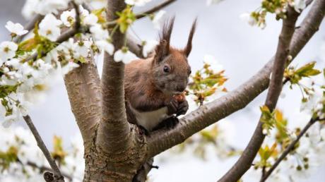 Ein Eichhörnchen sitzt auf einem blühenden Kirschbaum im Berliner Bezirk Tempelhof und isst eine Haselnuss.