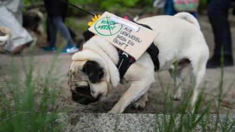 Alle Lebewesen haben Rechte, steht auf dem Schild, das ein Mops im Rahmen einer Demonstration gegen ein Hundeverbot an einem See trägt.