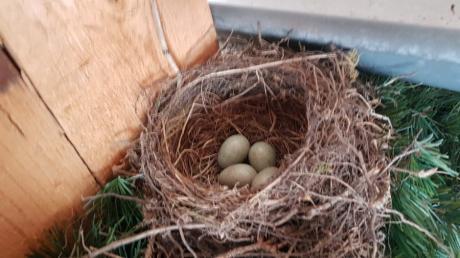 Ein Vogelpaar hat im dritten Kranz des Altenstadter Maibaums ein kunstvolles Nest gebaut.