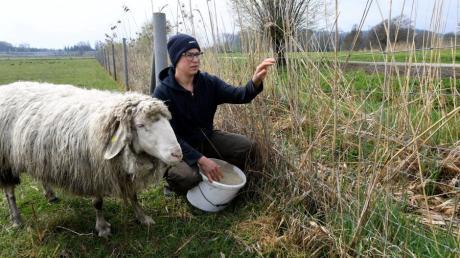 Katharina Mayer vom Moirhof in Hirblingen fand einen  abgetrennten Schafkopf neben ihrer Weide.