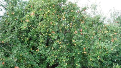 Der Obst- und Gartenbauverein Burlafingen feiert heuer sein 100-jähriges Bestehen.