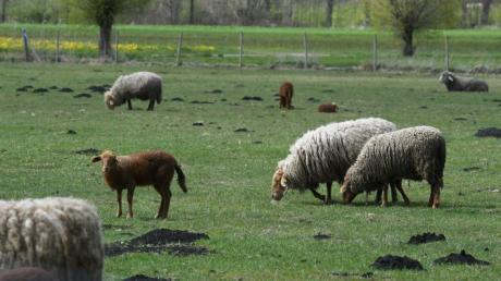 Dass Schafe von der Weide gestohlen werden kommt im Augsburger Land mitunter vor.