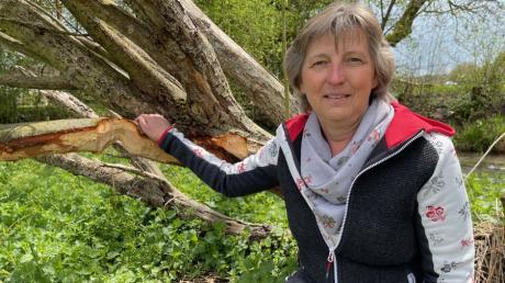 An vielen Orten in der Stadt haben Biber ihre Spuren hinterlassen, wie die Augsburger Biberbeauftragte Monika Weber zeigt.