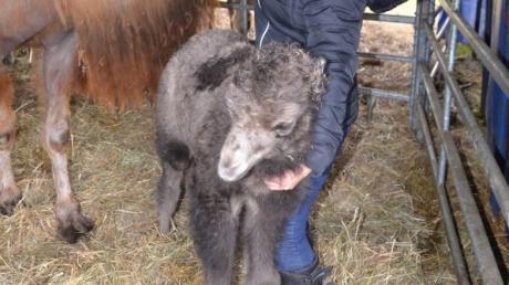 Jacqueline Köllner zeigt stolz den Familiennachwuchs beim Circus Mulan. Das Kamelbaby kam sieben Tage zuvor auf dem Festplatz in Illertissen zur Welt.