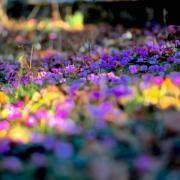Im Garten von Frau Clara u. Herrn Walter Schelle in Mering blühen zur Zeit Hunderte von Alpenveilchen. Die blühenden Blumen lassen einem das Herz vor Freude springen. Damit nicht nur die Gartenbesitzer eine Freude haben, schicke ich Ihnen die Bilder, damit auch die Leser daran teilhaben können.