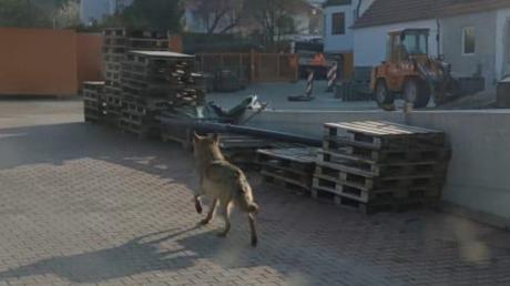Der Wolf in Bissingen: Ein Mitarbeiter der Firma Vitus Rieder hat diesen Schnappschuss gemacht.