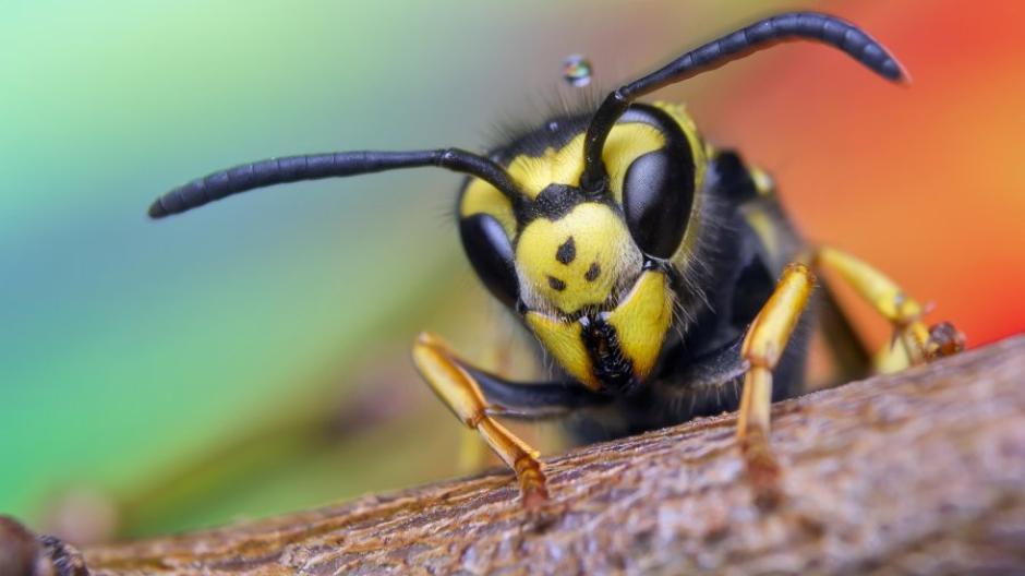 In Nahaufnahme einfach faszinierend oder ziemlich gruselig? Das ist Geschmackssache. Die Fakten über die Wespen sprechen dagegen eindeutig für sie.