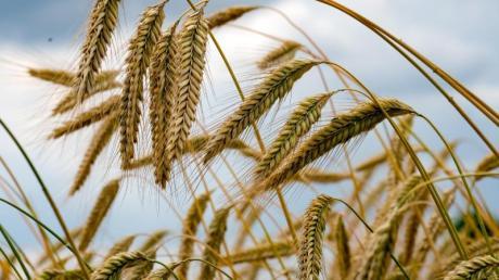 Schlechtes Wetter und Fehlernten drücken laut Experten Getreidepreise gewaltig nach oben. Die Preissteigerungen könnten wir bald beim Einkauf in unserem Geldbeutel spüren.
