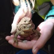 Ein Erdkrötenpaar, entdeckt im Landkreis Dillingen
