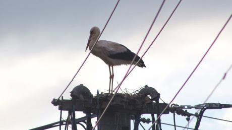 Seit mehreren Jahrzehnten baut in Meitingen, auf einem Betonmast inmitten von Elektroleitungen in der Stuhlmüllerstraße, wieder ein Storch ein Nest .