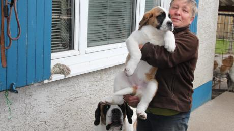Bernhardiner-Züchterin Siglinde Rappold aus Frankenhofen mit der zehn Wochen alten Lieselotte und Mutter Delia vom Wertachtal.