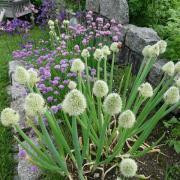 Schnittlauch und Schnattern sollte man eigentlich ernten, bevor sie blühen, weil sie dann weniger Aroma haben. Aber Bienen und Schmetterlinge freuen sich über die Blüten und schön aussehen tun sie auch.