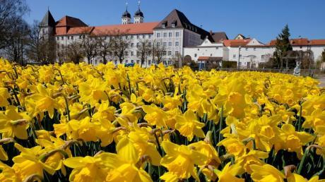 Narzissen blühen im Hofgarten in Günzburg, hinten ist das Schloss zu sehen. Könnte die Stadt ab 2030 Ausrichter der Landesgartenschau werden?