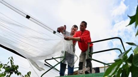 Auf der Obstplantage Zott wurden Stützbalken und die Folien beschädigt. Mitarbeiter reparieren die Schäden, wo es noch möglich ist.