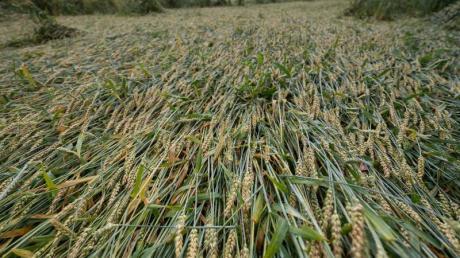 Teile eines Getreidefelds liegen nach mehreren Tagen mit Untwettern in Hessen umgeknickt auf der Erde.