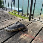 Dieser Alligator-Kopf aus Plastik erschreckte einen Badegast am Friedberger See.