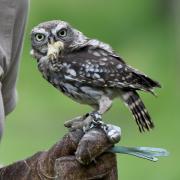In Augsburg trug ein Neunjähriger zwei Steinkäuze spazieren. Die Tiere sind allerdings geschützt.