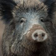 Im Landkreis Landsberg wurde bei einem erlegten Wildschwein ein tödliches Virus festgestellt.