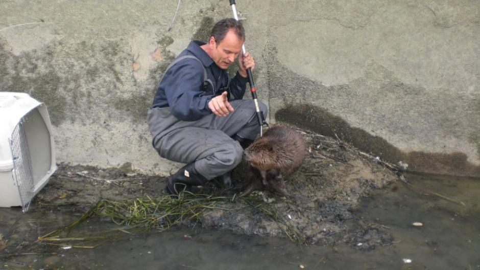 Die Berufsfeuerwehr Augsburg hat auch viele Einsätze zur Tierrettung. In diesem Fall wird ein Biber aus einem abgelassenen Kanal geborgen.