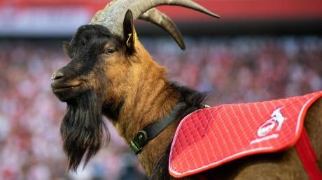 Er muss draußen bleiben: FC-Maskottchen Hennes IX. darf nicht ins Stadion.
