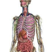 Erkundungstour durch den Körper: Auf der Website Zygote Body können Nutzer mit der Maus durch die Anatomie des Menschen navigieren. (Foto: zygote.com) dpa