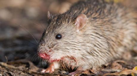 Eine Ratte hockt auf einem Feldweg. Foto: Julian Stratenschulte/dpa