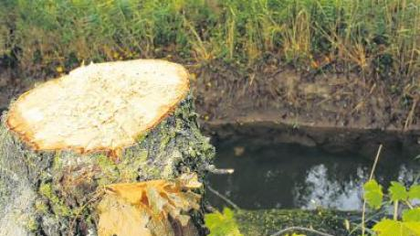 Bei den Renaturierungsmaßnahmen am Flussufer der Glött werden zurzeit Bäume entfernt, die das Gebiet rund um den Fluss einengen.