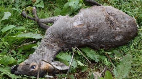 Bei Tapfheim wurde eine hoch trächtige Rehgeiß von einem wildernden Hund gerissen.