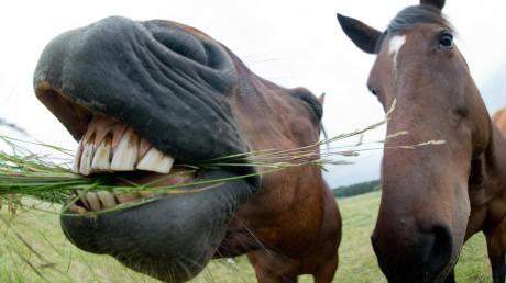 An zwei Pferden ist ein Lkw zu dicht vorgefahren.
