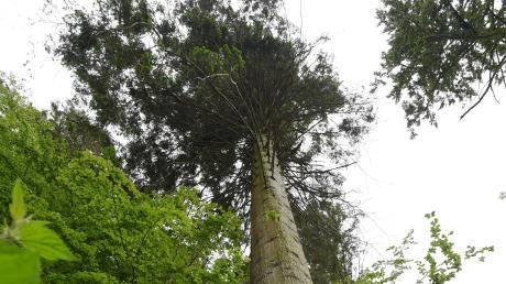 Eine Douglasie. Diese Bäume kommen mit dem Klimawandel besser zurecht als zum Beispiel die Fichte.