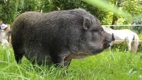 Einem Höchstädter ist ein Hängebauchschwein (Symbolfoto) zugelaufen. Doch wem gehört das Tier?