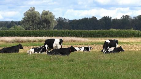 Rinder sind bei Höchstädt ausgebrochen.