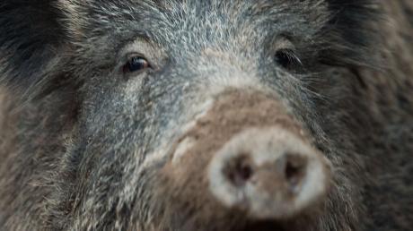 Immer noch sind viele Wildschweine, die im Landkreis Dillingen erlegt werden, atomar belastet. Und das mehr als 30 Jahre nach der Reaktorkatastrophe in Tschernobyl.
