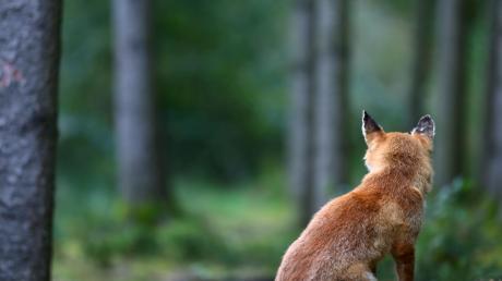 Ein Aislinger hat einen Fuchs mit einem Abzugeisen gefangen und anschließend mit seinem Gewehr erschossen.
