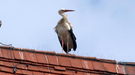 Der Storch genießt in der öffentlichen Meinung ein hohes Ansehen. Ein Mann aus Gundelfingen stand nun vor Gericht, weil er ein Storchennest ohne Genehmigung entfernen ließ.