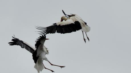 Ein Storchenpaar lebt seit einigen Tagen gemeinsam auf dem Nest am Hofbräuhausparkplatz – doch den beiden wird das Nest von einem anderen Storch streitig gemacht. Dieser Storch verschmäht aber das etwa 50 Meter entfernt brachliegende Nest auf dem Dach der Heilig-Geist-Kirche.
