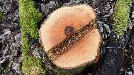 Weil ihre Wurzeln eine Gefahr für die Wasserleitung darstellen, müssen in Dinkelscherben zwei Bäume gefällt werden.
